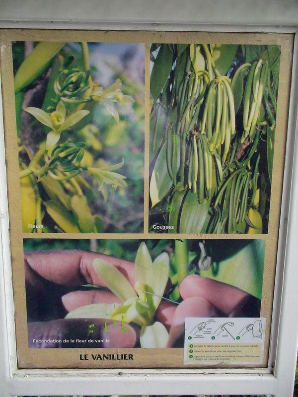 fleurs vanille plante famille